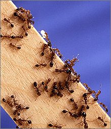 fire ant pests