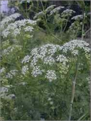 Poison Hemlock (Fool's Parsley)